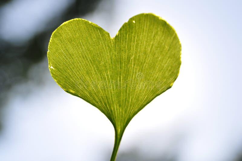 folha heart-shaped do ginkgo foto de stock