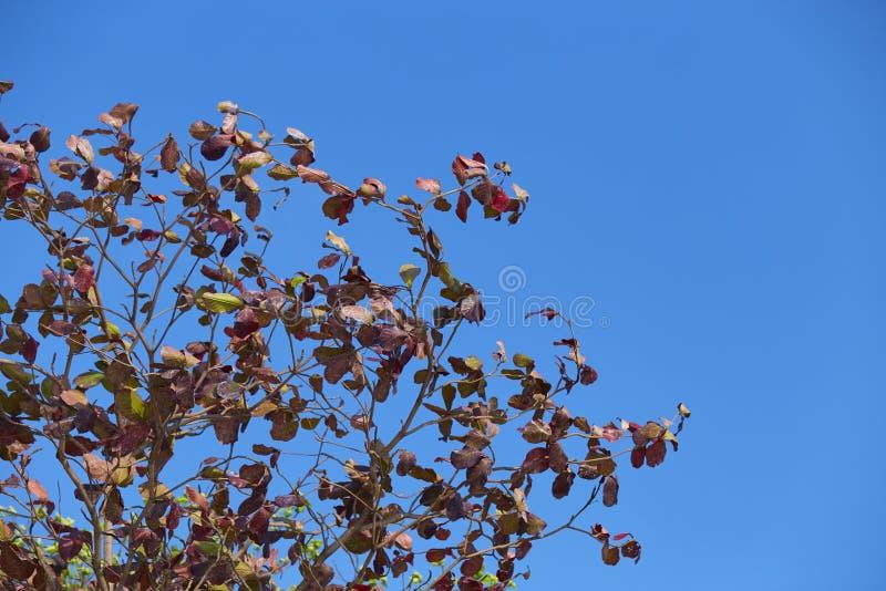 Folha indiana da árvore de amêndoa com céu vívido fotografia de stock