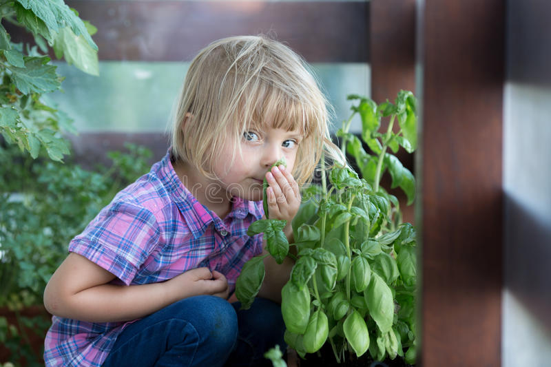 Folha loura caucasiano da manjericão do cheiro da menina do bebê novo em seu jardim vegetal urbano da família imagens de stock