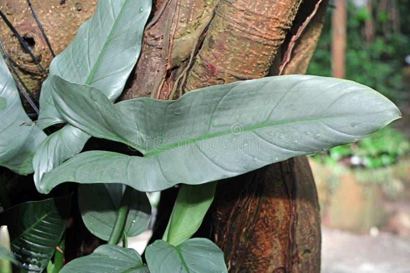 Folha madura grande de um Philodendron exótico Hastatum ou da folha de prata da planta da espada imagem de stock royalty free