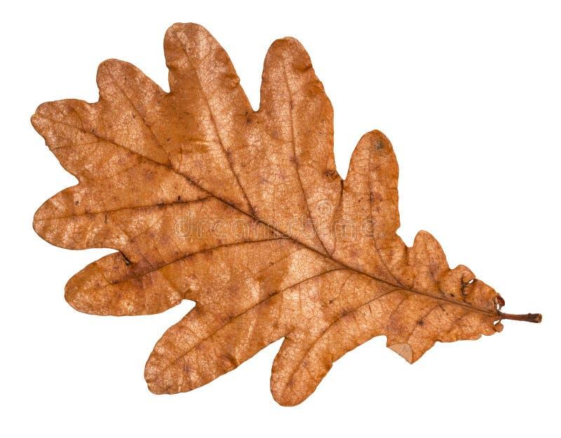 Folha marrom caída secada do outono do carvalho imagens de stock