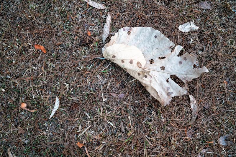 Folha marrom secada caída na terra da grama secada 1 fotos de stock