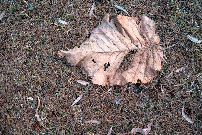 Folha marrom secada caída na terra da grama secada 2 imagem de stock