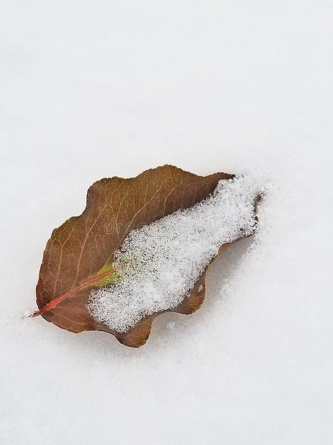 Folha marrom secada na neve fotografia de stock royalty free
