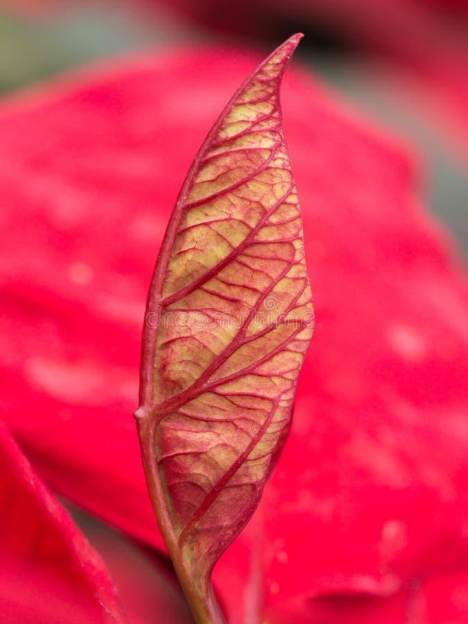Folha modelada da poinsétia vermelha imagem de stock