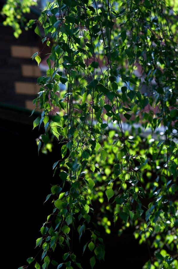 Folha nova de uma árvore de vidoeiro foto de stock