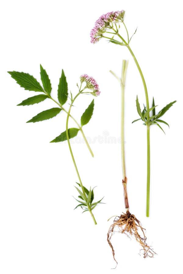 Folha, raiz e flor do Valerian imagens de stock