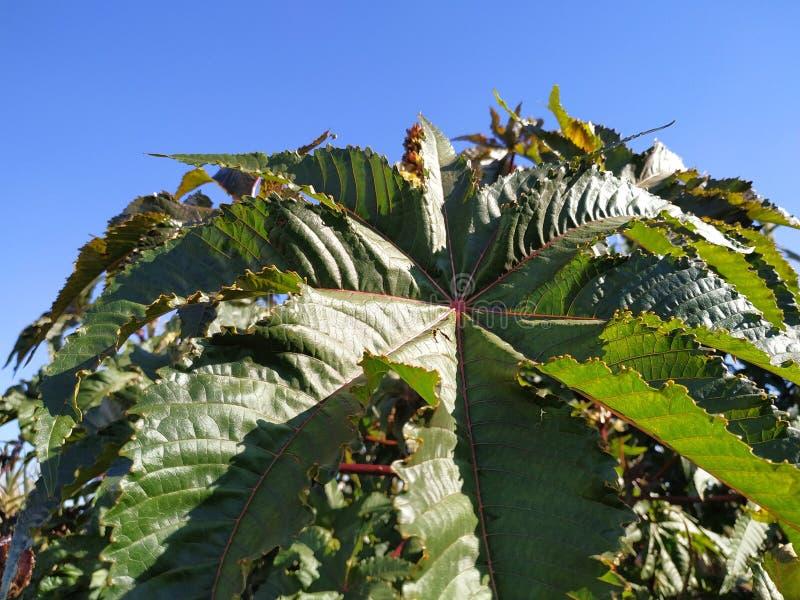 Folha roxa communis da planta venenosa do Ricinus na província de Cartaya da Espanha de Huelva imagens de stock