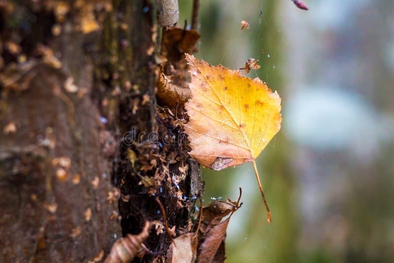 Folha seca amarela do vidoeiro em uma Web perto de um tronco de uma árvore Day_ do outono foto de stock royalty free