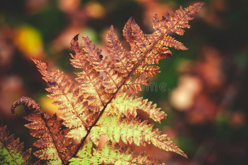Folha seca da samambaia na floresta do outono fotografia de stock
