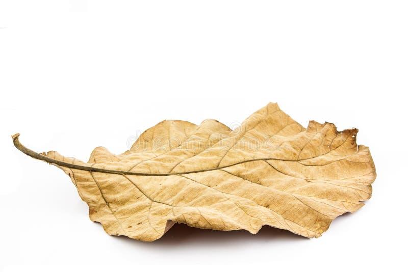 Folha seca no fundo branco imagens de stock