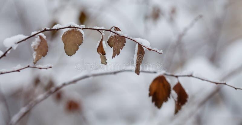 Folha secada coberto de neve Fundo da natureza do parque da estação do inverno Foco seletivo imagem de stock royalty free