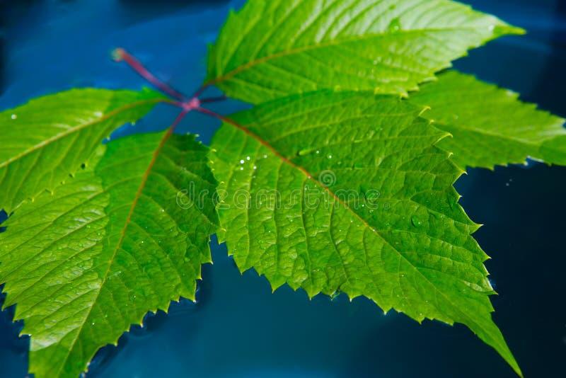 folha selvagem da uva na obscuridade - fundo azul foto de stock