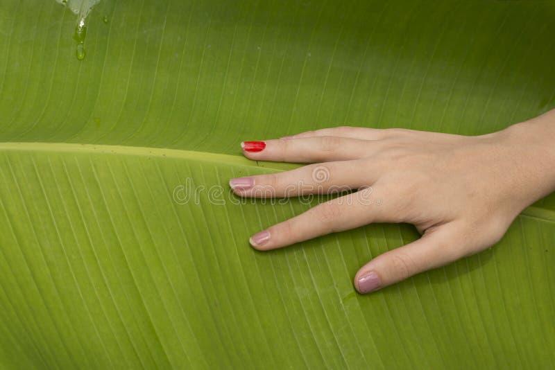 Folha tocante da árvore de banana à mão imagem de stock