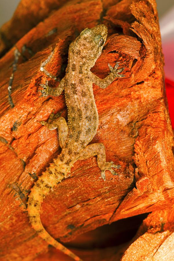 A folha toed o geco, parvimaculatus de Hemidactylus, santuário de animais selvagens de Bhoramdeo, Chhattisgarh imagem de stock