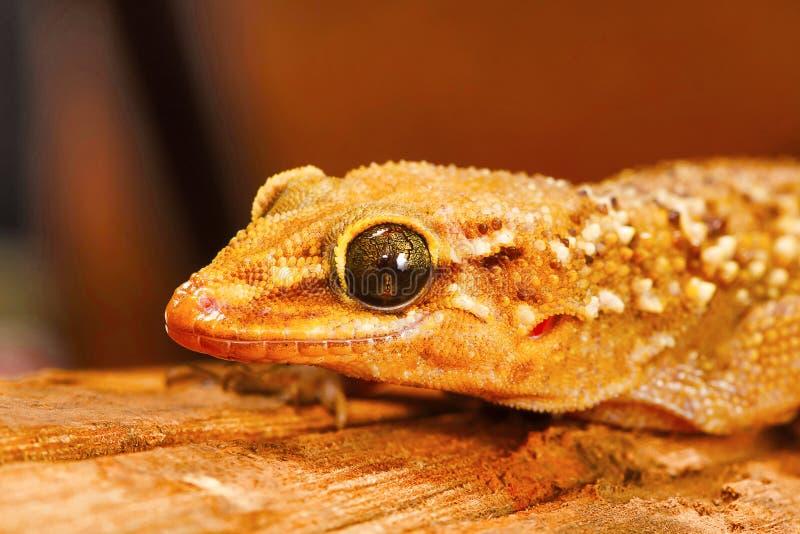 A folha toed o geco, parvimaculatus de Hemidactylus, santuário de animais selvagens de Bhoramdeo, Chhattisgarh fotografia de stock royalty free