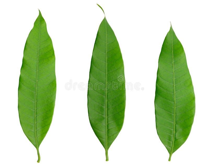 Folha três verde isolada naturalmente no branco fotos de stock