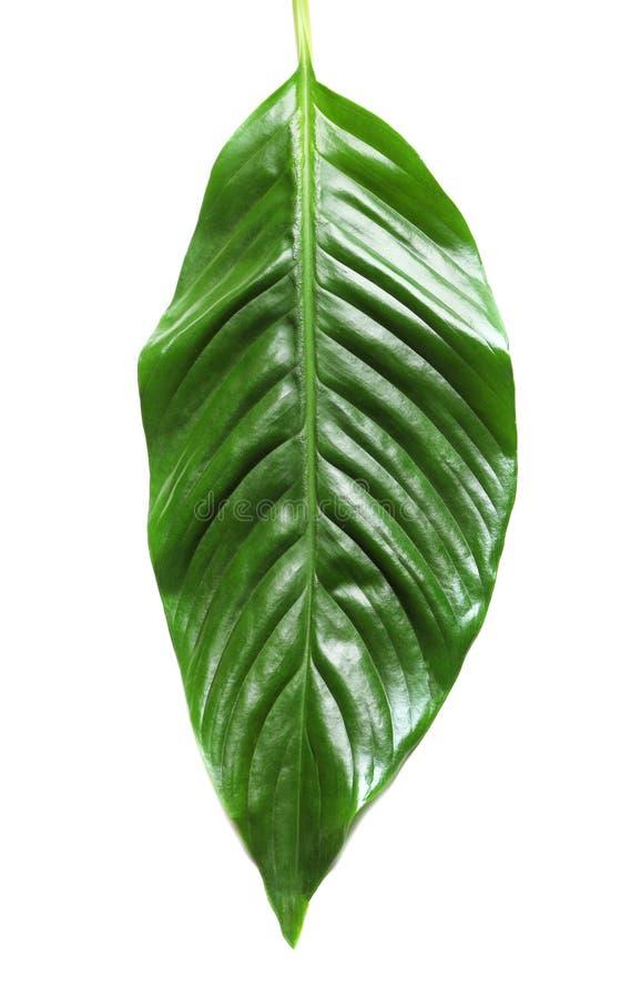 Folha tropical bonita de Spathiphyllum fotos de stock royalty free