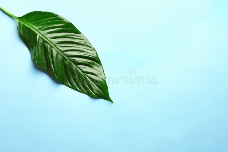 Folha tropical bonita de Spathiphyllum no fundo da cor fotografia de stock