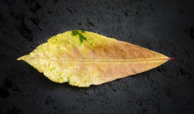Folha tropical colorida da árvore de amêndoa isolada no fundo preto fotografia de stock