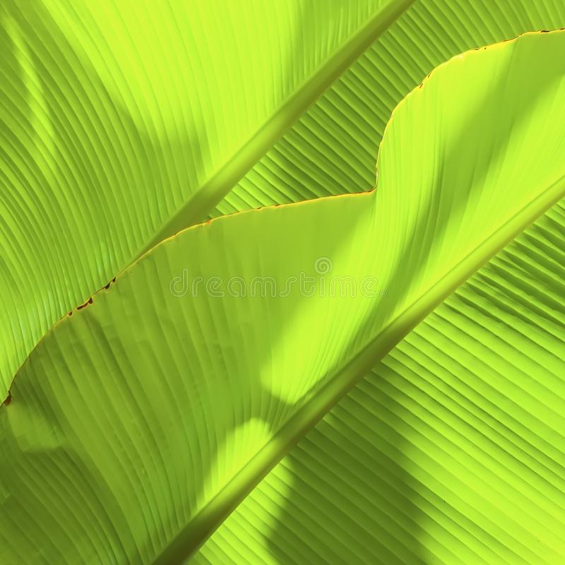 Folha tropical da banana com luz Textura abstrata, fundo verde exótico natural foto de stock royalty free