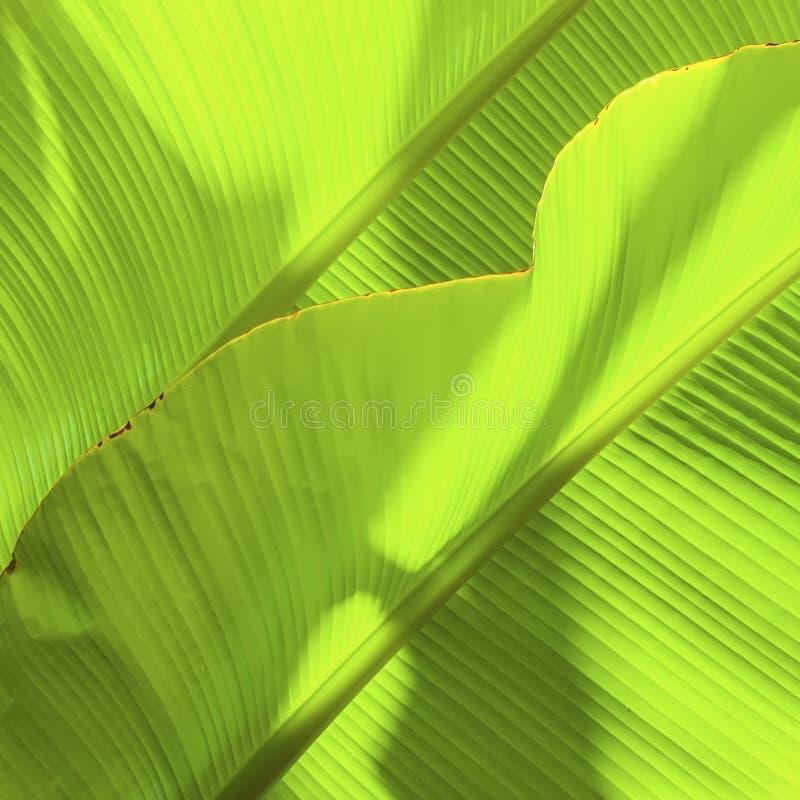 Folha tropical da banana com luz Textura abstrata, fundo verde exótico natural foto de stock royalty free
