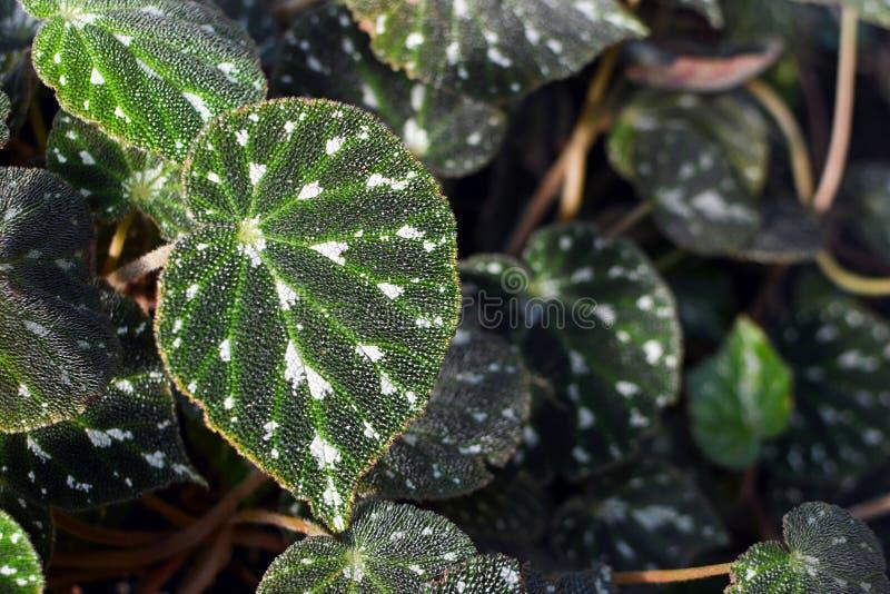 Folha tropical da planta de Begonia Pustulata foto de stock royalty free