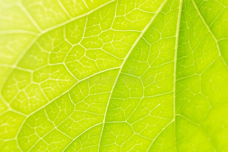 A folha veia a natureza do verde da luz solar do close-up imagens de stock royalty free