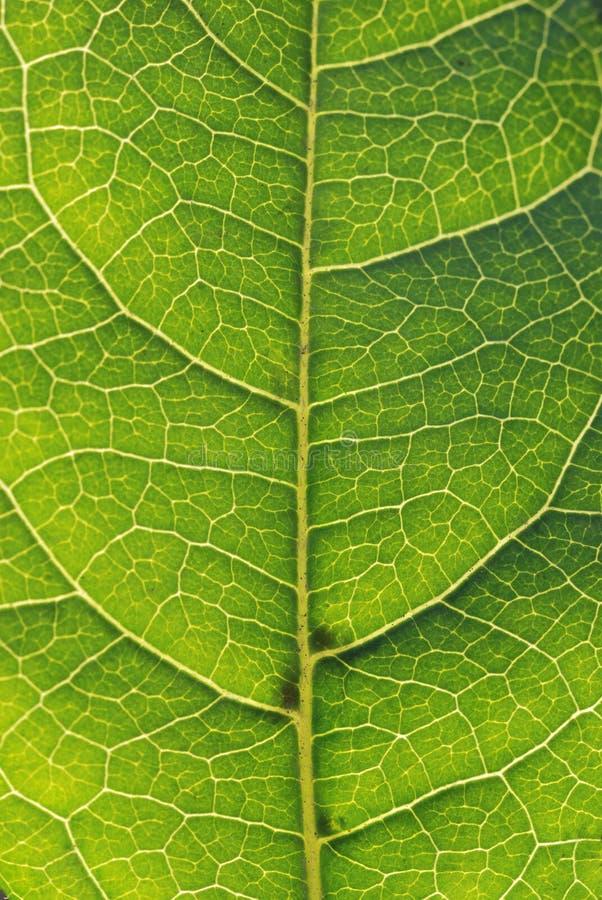 Download Folha verde foto de stock. Imagem de folha, macro, grão - 10067584
