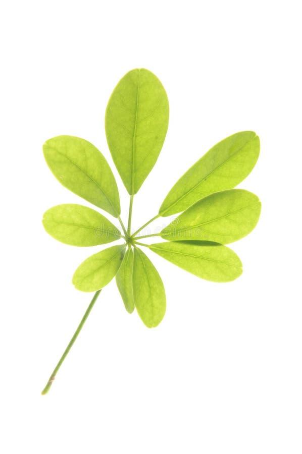 Folha verde imagem de stock royalty free
