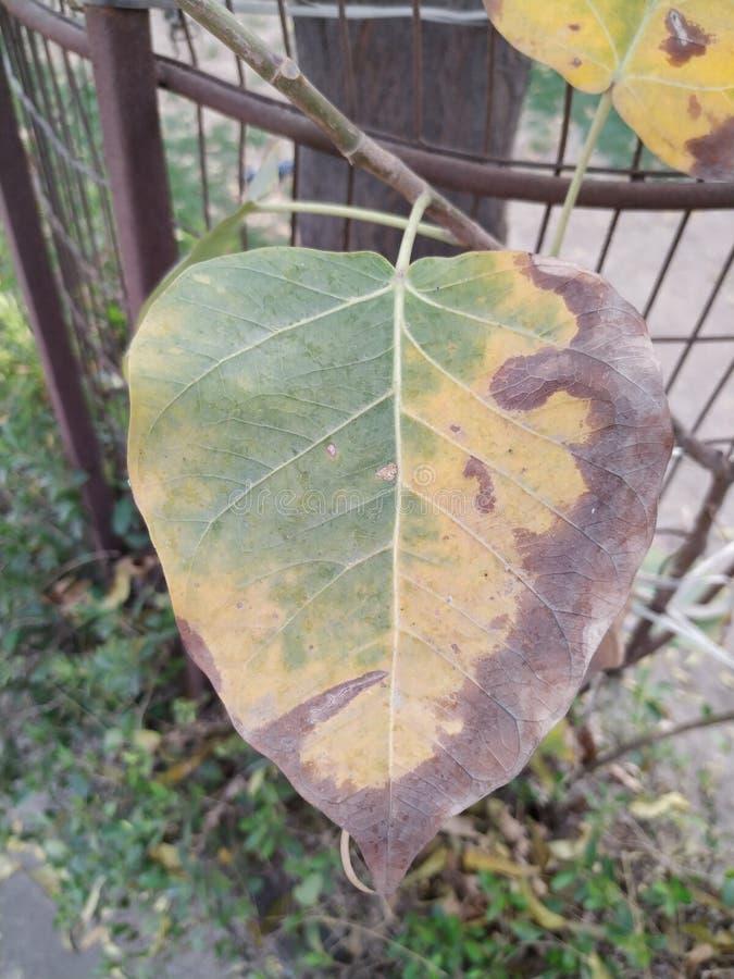 Folha verde amarela marrom seca fotografia de stock