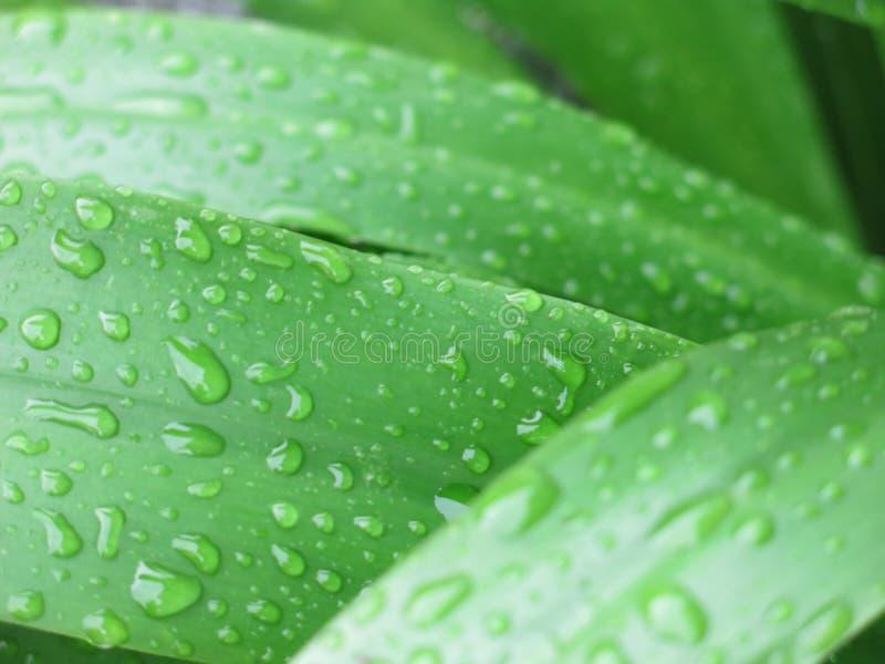 A folha verde após a chuva foto de stock