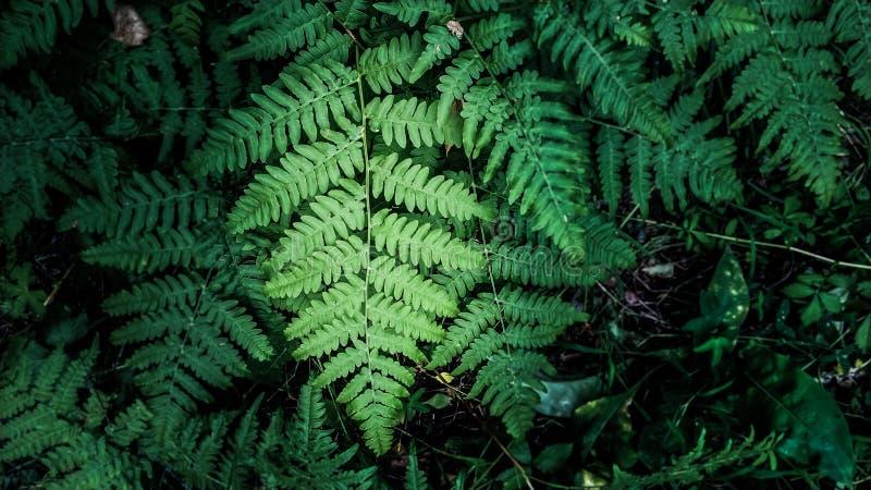 Folha verde bonita de uma samambaia na iluminação escura no fundo das folhas do verão fotografia de stock royalty free