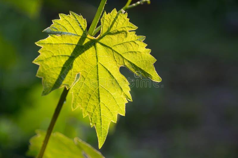 Folha verde-clara da uva fora na obscuridade fotos de stock