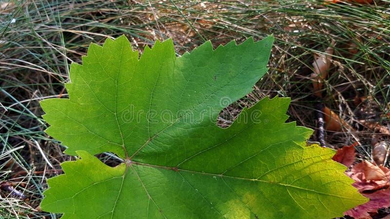 Folha verde-clara do close up da planta da uva no fundo marrom seco da grama A folha fresca da vinha é caída para moer na estação imagem de stock
