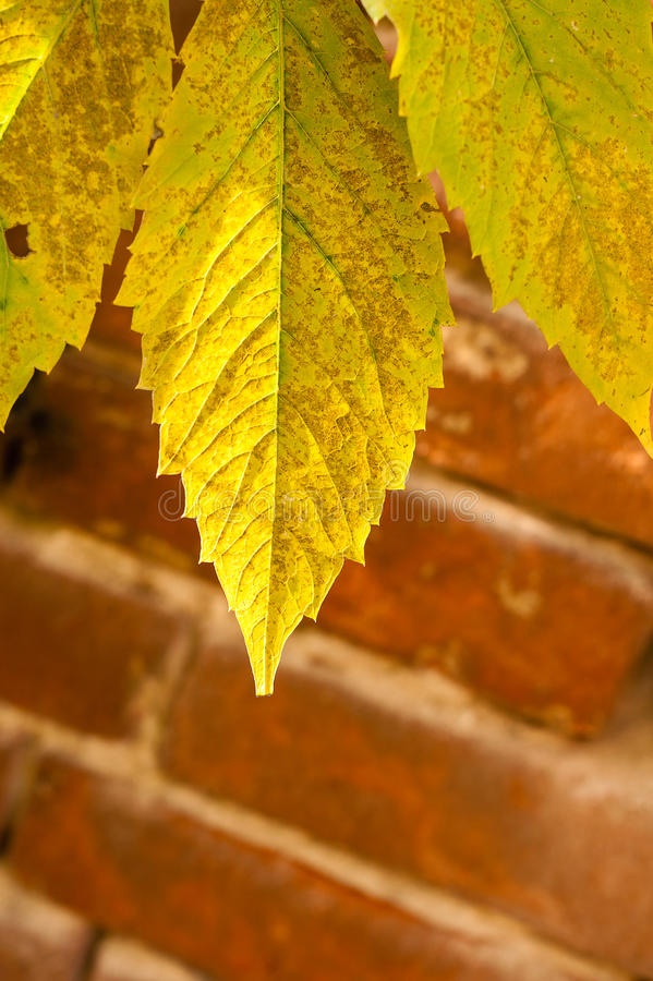 Folha verde-clara e amarela da uva fotos de stock