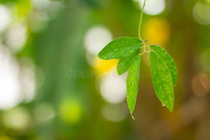Folha verde com gotas da água para o fundo fotos de stock