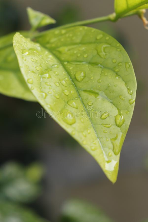 folha verde com gotas da ?gua fotos de stock
