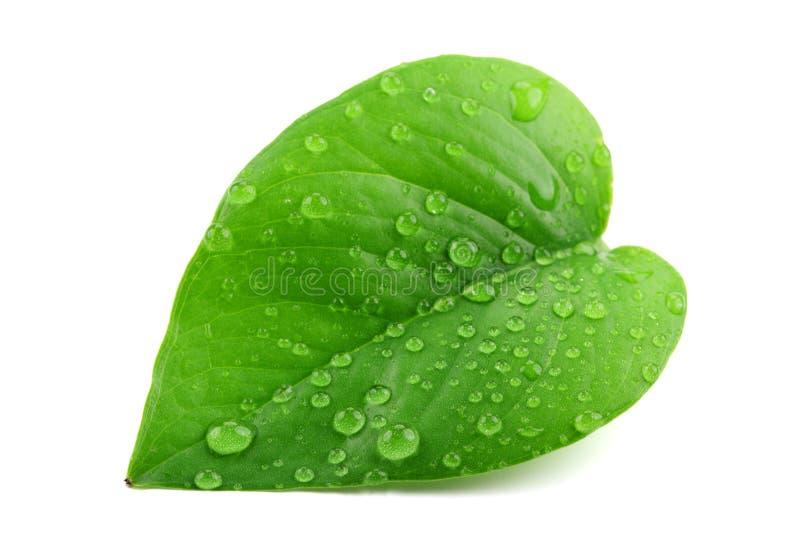 Folha verde com gotas de água imagens de stock royalty free