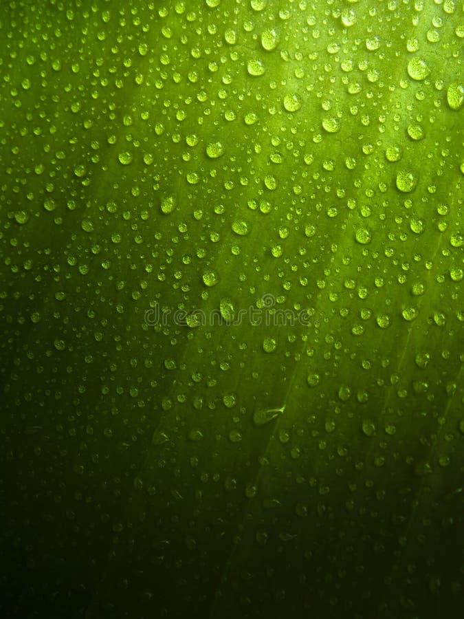 Folha verde com gotas de orvalho imagens de stock