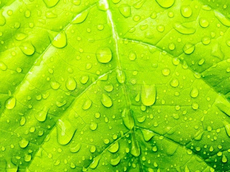 Folha verde com waterdrops imagens de stock