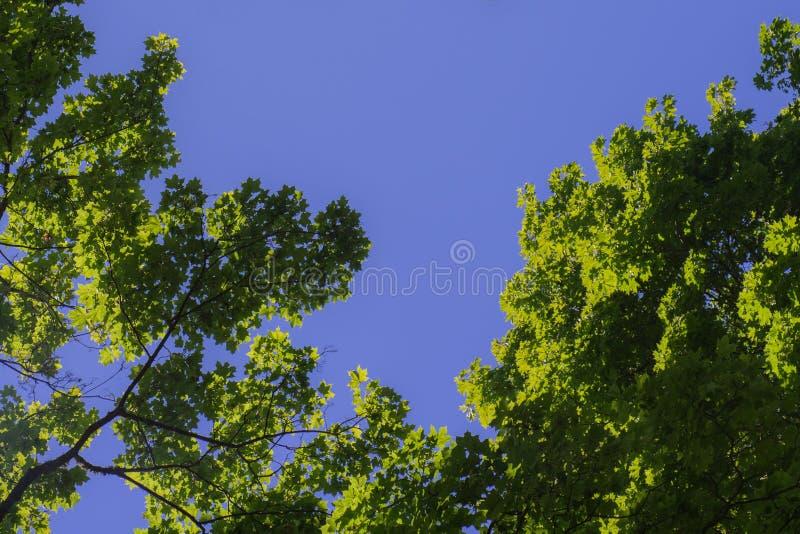 Folha verde contra o céu azul Árvores verdes contra o céu e as nuvens foto de stock royalty free