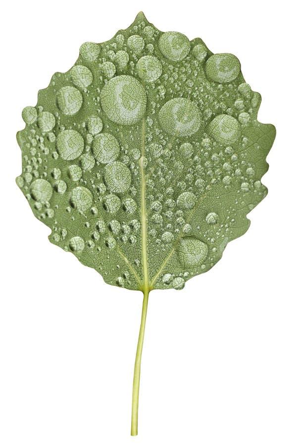 Folha verde da árvore do álamo tremedor com pingos de chuva imagens de stock royalty free