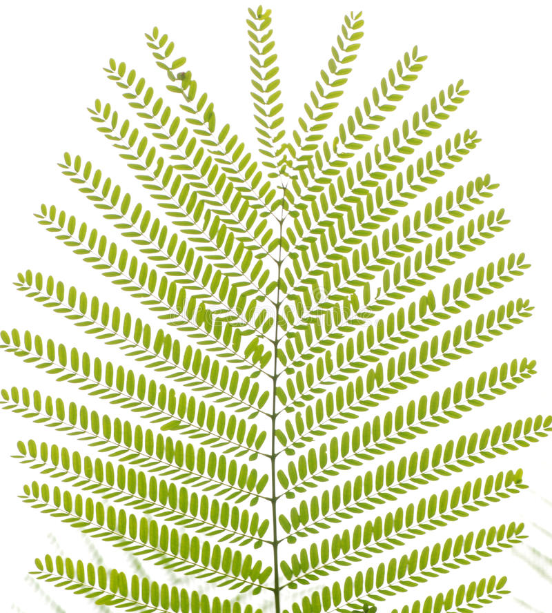 Folha verde da árvore do falcata do Albizzia fotos de stock