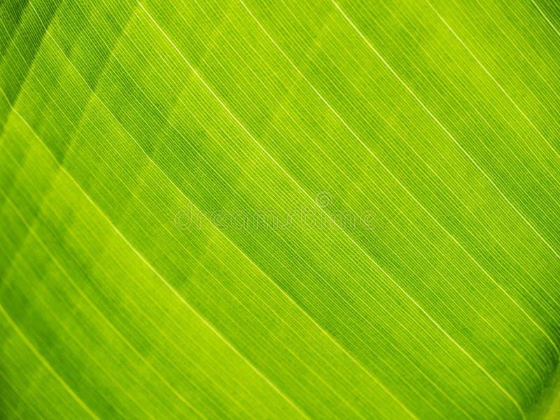 Folha verde da banana fotografia de stock royalty free