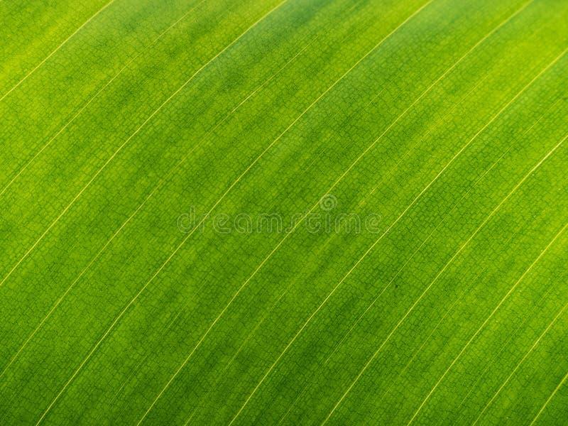 Folha verde da banana imagem de stock royalty free
