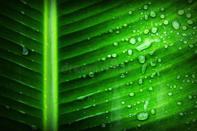 Folha verde da banana com a substância do líquido claro imagens de stock