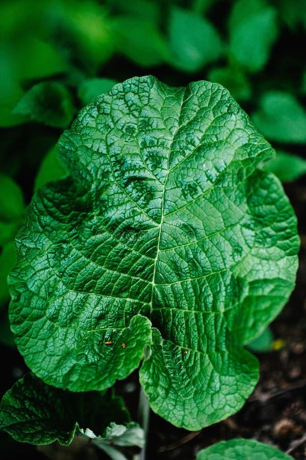Folha verde da bardana Close-up Plantas verdes nave Grande plano fotos de stock