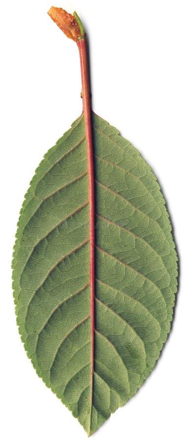 Folha verde da cereja imagem de stock royalty free