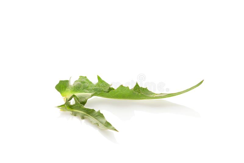 Folha verde da chicória imagem de stock royalty free
